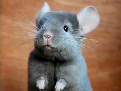 龙猫(毛丝鼠)