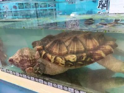变异大鳄龟